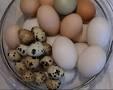 chick-v-quail-egg